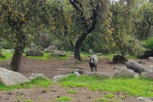 Photo of Iberian pigs
