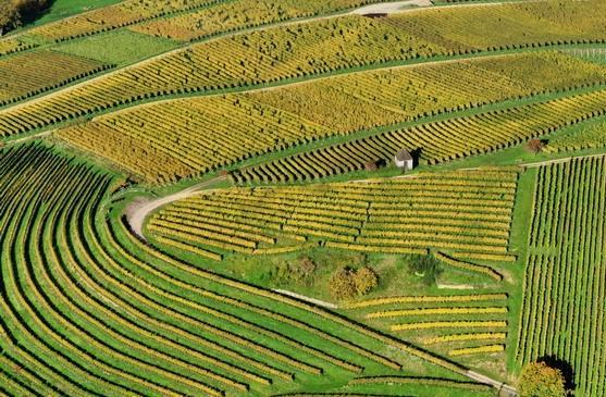 Galician vineyards