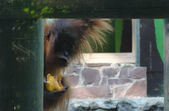 Orangutan at Santillana zoo
